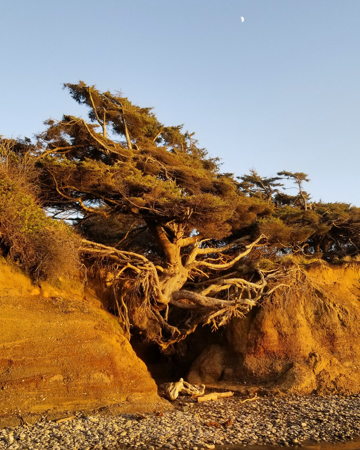 A coastal spruce tree spans a cave, the roots barely holding on to either side. There is green growth on the tree. It is sunset and the image is in golden hues with a blue sky and a partial moon on the upper right.