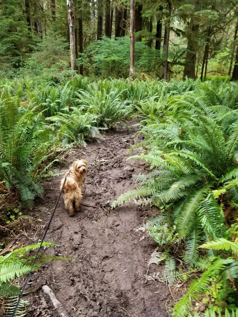 A muddy trail passes between ferns. A small dog looks at the camera. Trees in the background