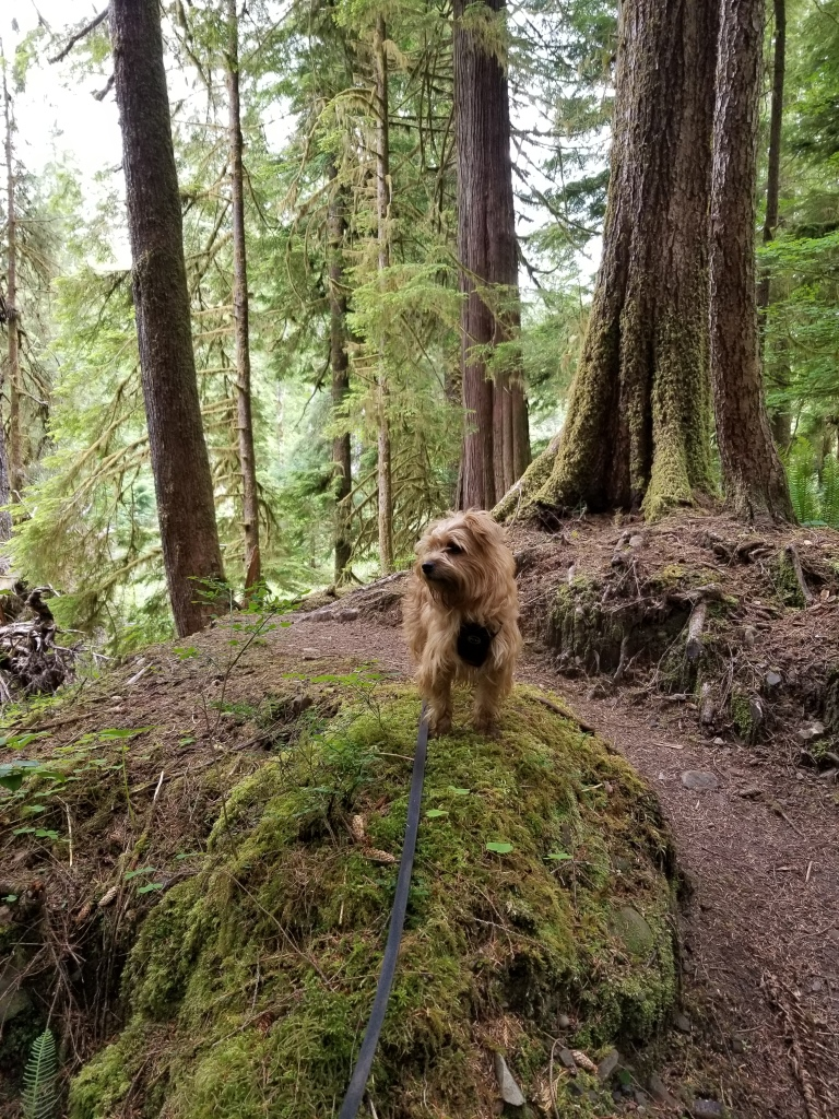 Small dog stands on a rock on a hillside trail.