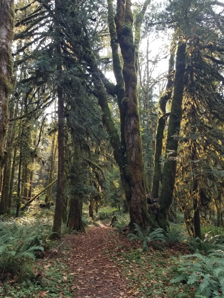 Trail passing between Big Leaf Maple and Douglas Fir. Sword Ferns cover the forest floor, with fall leaves scattered on the trail.