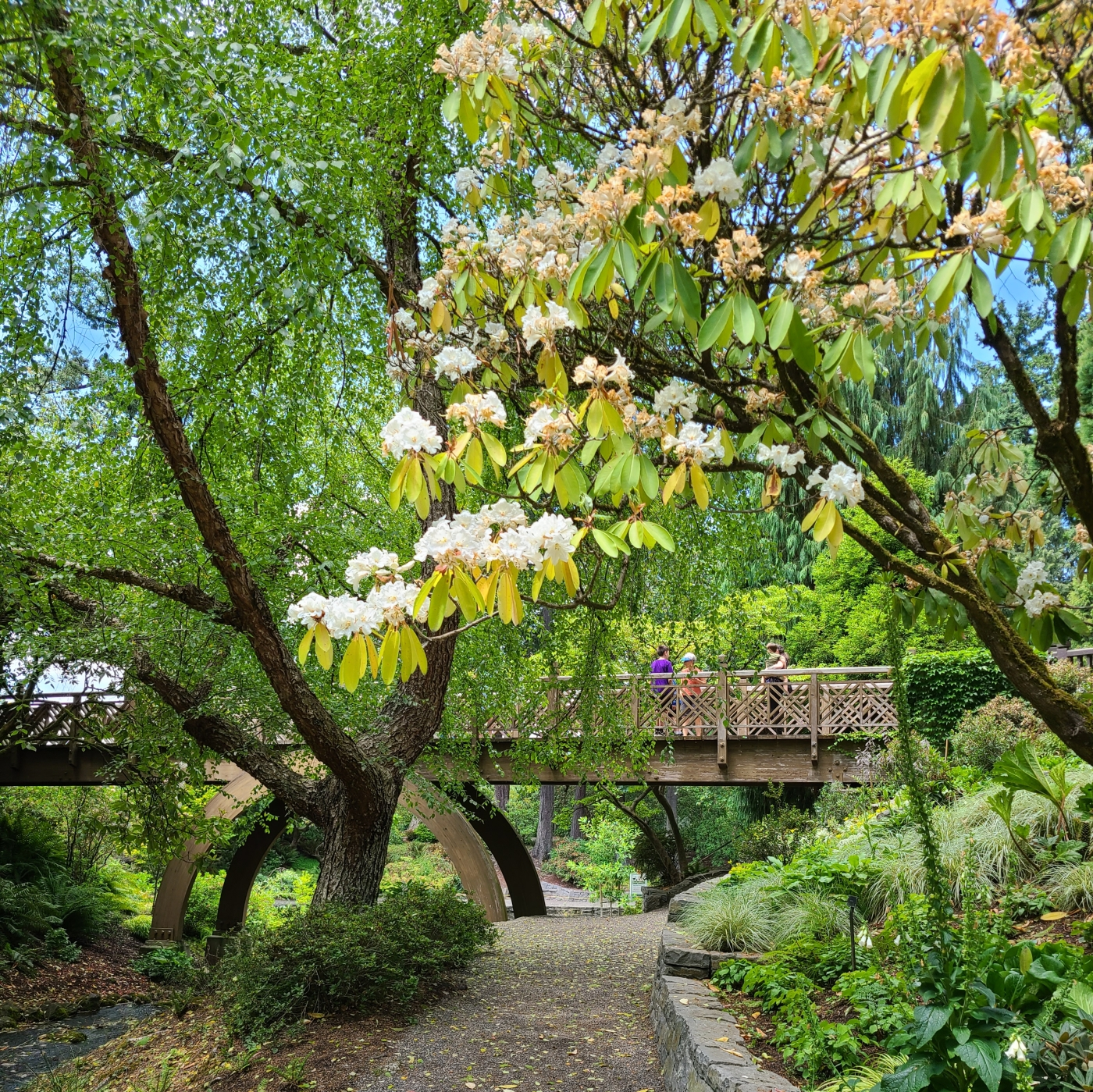 White rhododendrons bloom over the path below a bridge at Crystal Springs Rhododendron Garden